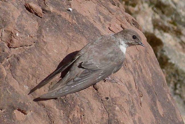 Скеляста ластівка має непримітний забарвлення пір`я.