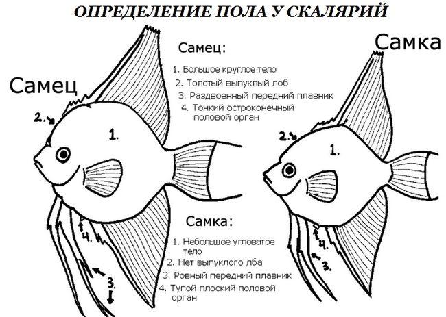 скалярии розмноження