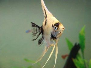 скалярии сумісність з іншими рибками