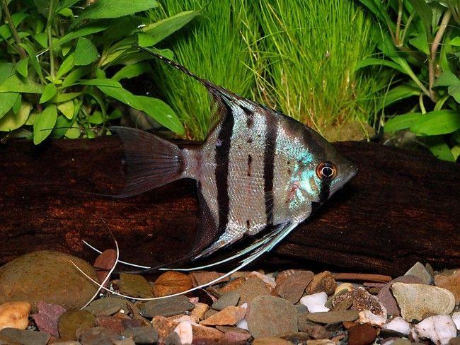 Рибка скалярія леопольда.