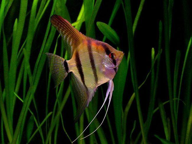 Скалярии - одні з найкрасивіших акваріумних рибок.