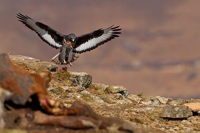 Забарвлення оперення молодих птахів сильно відрізняється від кольору пір`яного покриву дорослих канюков.