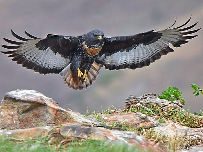 Ці птахи полюють, в основному, в альпійських луках
