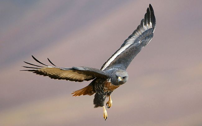 Більшість пар є територіальними, вони ведуть сидячий спосіб життя і не залишають гніздову ділянку протягом всього року.