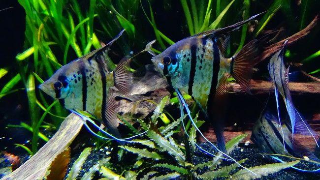 Смугасті скалярии на дні акваріума.