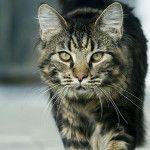 вік кішки