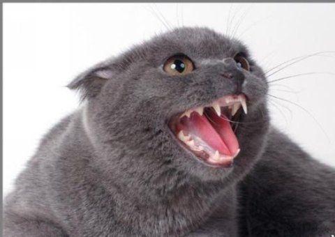 Скільки всього зубів у дорослої кішки - факти