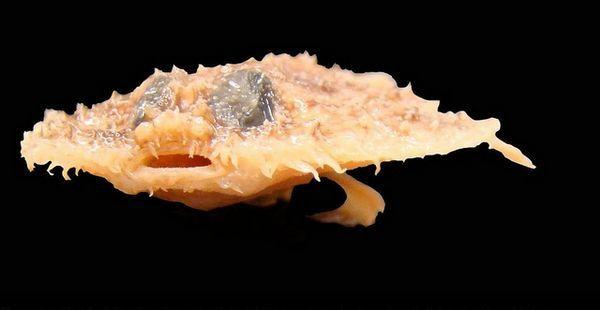 Один з нововідкритих видів - риба Halieutichthys intermedius, виявлена в 2010 році в водах Мексиканської затоки