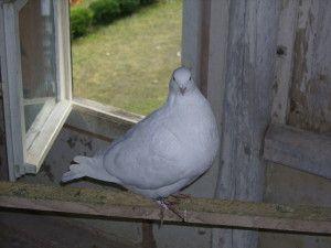 Скільки живуть голуби на волі і в господарстві