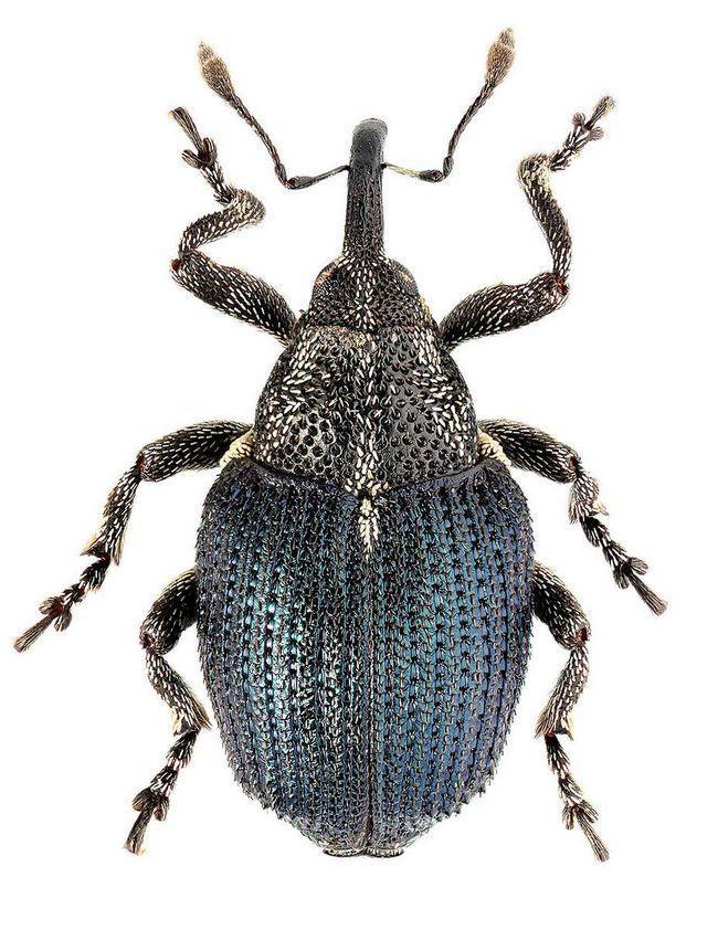Скритнохоботніковие комахи вражають рослини, внаслідок чого знижується врожайність.