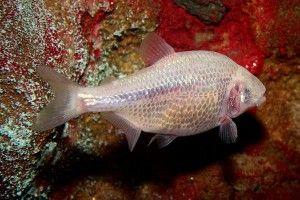 Сліпа печерна риба
