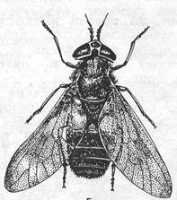 Chrysops spp.