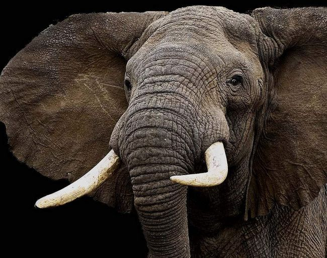 Слона навчили грати в регбі.
