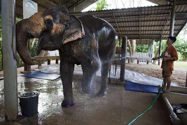 Слонисі Мотале поміняли вже третій протез