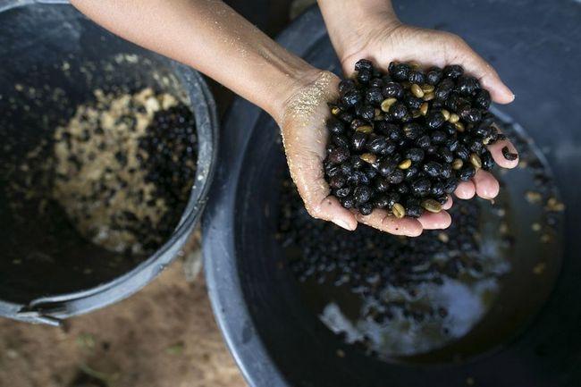 Слони і виробництво кави`Чёрный бивень`