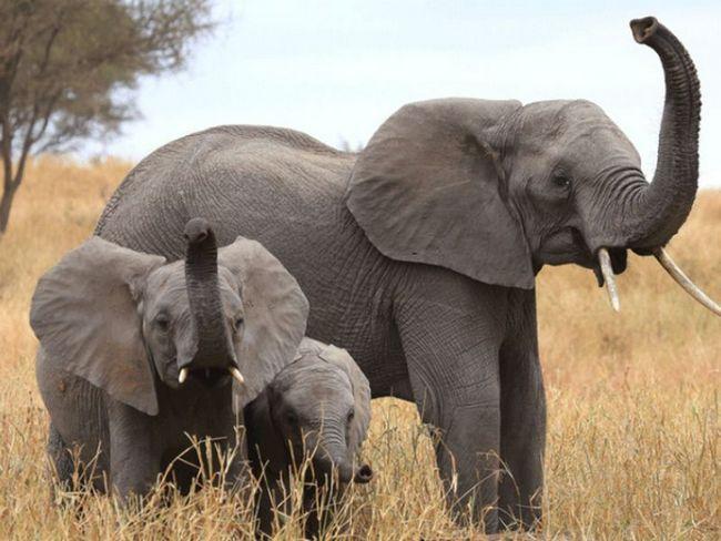 Слони мають краще в світі нюхом