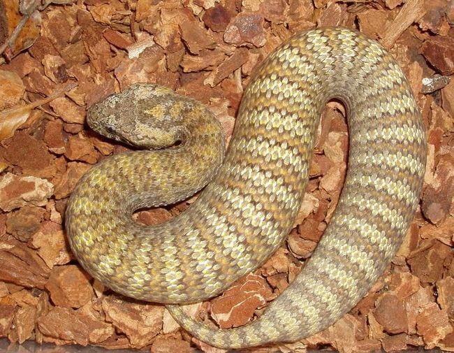 Смертельна змія (Acanthophis).