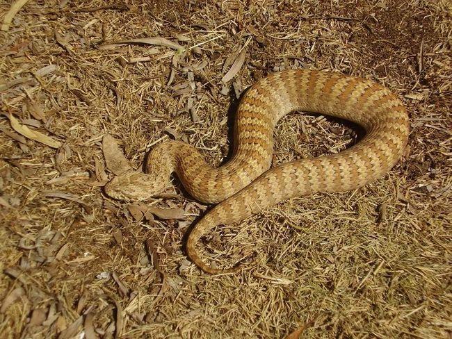 Смертельні змії по забарвленню тіла бувають жовті, червоні і сірі.