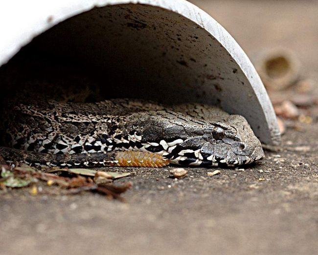 Отрута змії для людей смертельний, але є час ввести протиотруту.