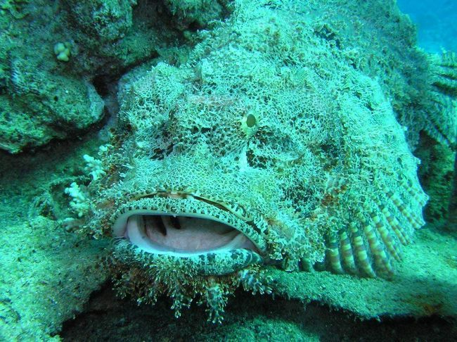 Риба-камінь - морська хижачка.