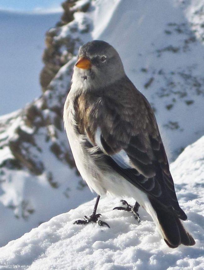 Пташки взимку іноді спускаються в передгір`я.