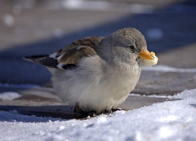 Снігові в`юрків предпочітаают триматися невеликими зграйками.