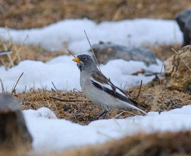 Стайки цих птахів можна стрет на висоті 2500 м над рівнем моря.
