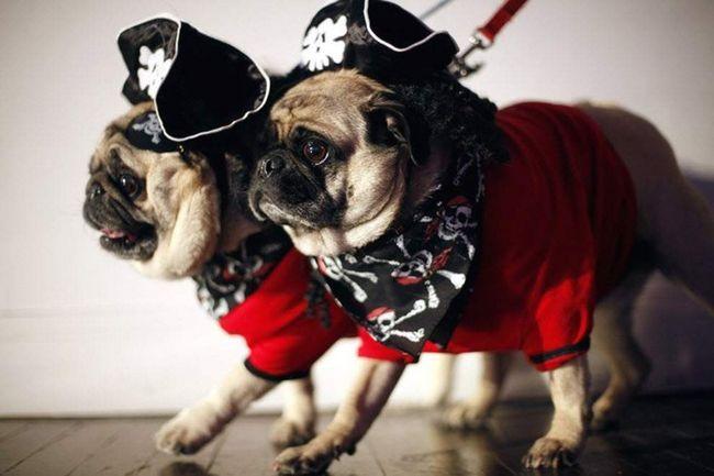 Мопси в костюмах піратів