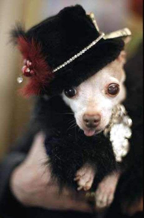 Чихуахуа на собачому маскараді