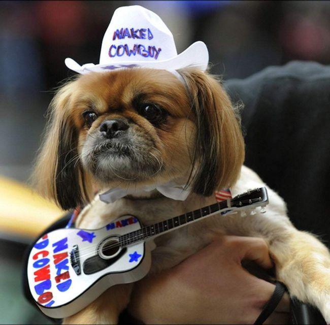 Пекінес Джорджі бере участь в собачому маскараді