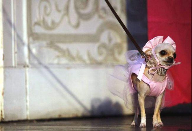Чихуахуа Коко Белла в костюмі балерини