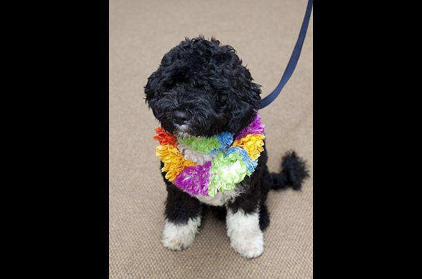 Португальський водний собачка, на прізвисько Бо, що належить Обамі