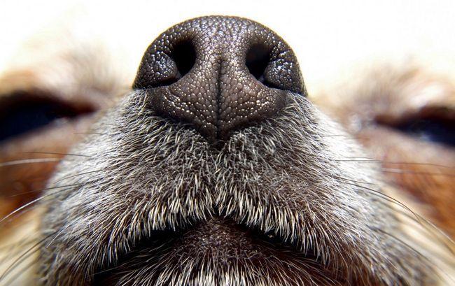 Собаче нюх, незважаючи на свою силу, не вичерпує здібностей цих тварин.