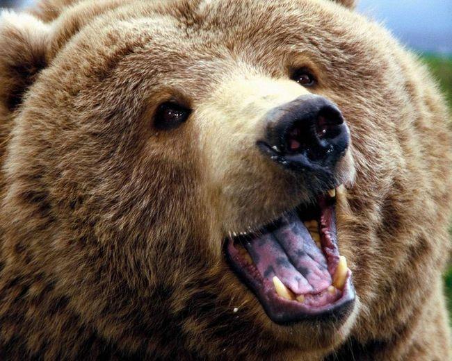 Бурий ведмідь: в Росії без нього - ніяк!