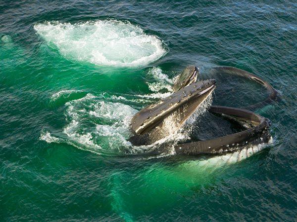 пара горбатих китів