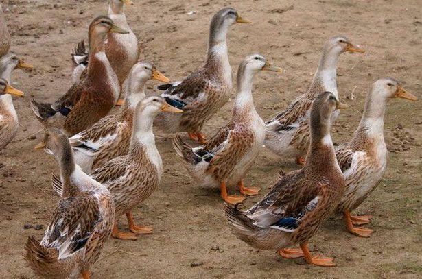 Башкирські качки на прогулянці