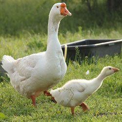Зміст і розведення гусей ліндовской породи