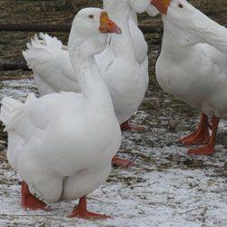 Зміст і розведення холмогорских гусей в домашніх умовах