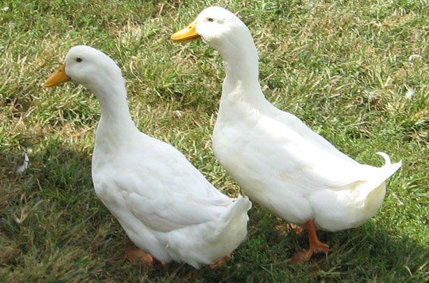 Пекінські качки: самка і селезень
