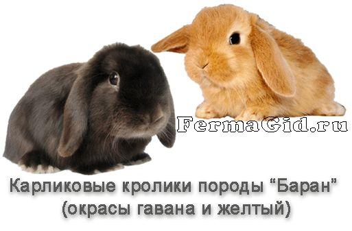 Зміст карликових кроликів в домашніх умовах: породи, догляд