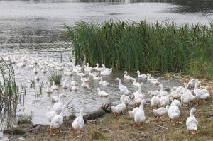 Зміст, годування і розмноження домашнього гусака