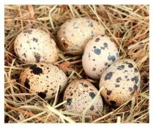 яйця перепела фото