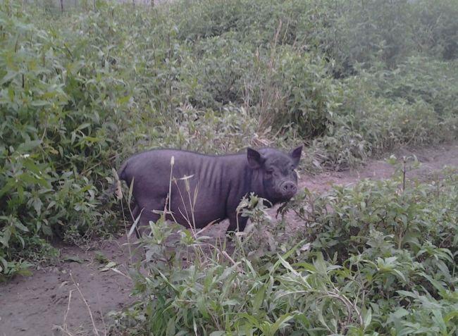 В`єтнамська вислобрюхая свиня: прогулянковий майданчик
