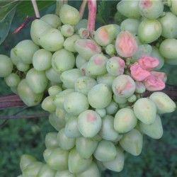 Сонячний опік винограду