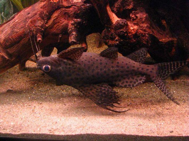 Якщо сомик-перевертень плаває спинкою донизу - не відволікати його, рибка відпочиває.