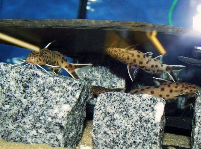Більшу частину життя сомики-перевертні проводять плаваючи догори черевцем.