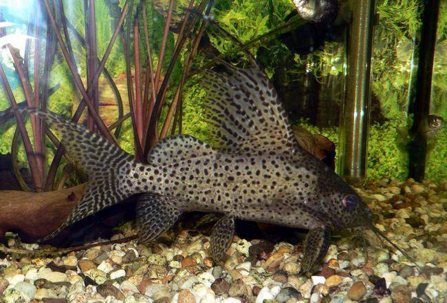 Зовні ця акваріумна рибка надзвичайно красива.