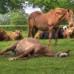 Сон коні: як сплять ці тварини, стоячи або лежачи?