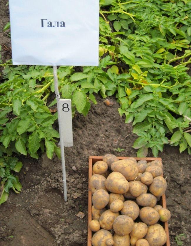 сорт картоплі