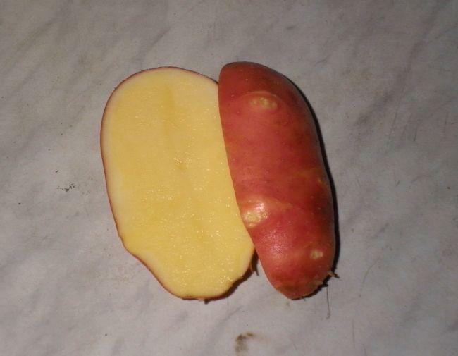 Ранній сорт картоплі